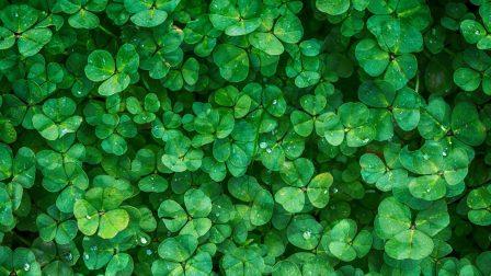 clover-1225988_1920
