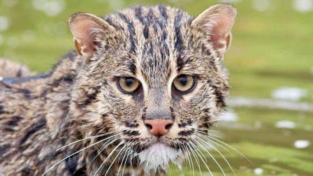 Még meg lehet menteni a kihalástól három vadon élő macskafajt