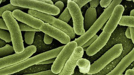 koli-bacteria (1)