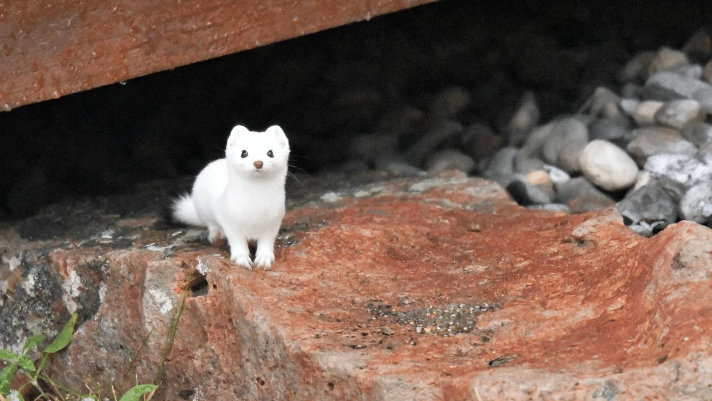 Az irtó cuki hermelin lett az év emlőse