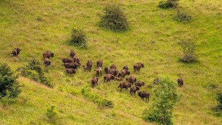 Megmenekültek az európai bölények a kihalástól