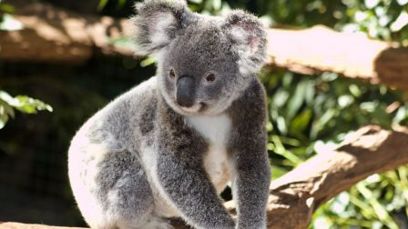 koalacuki-1-1