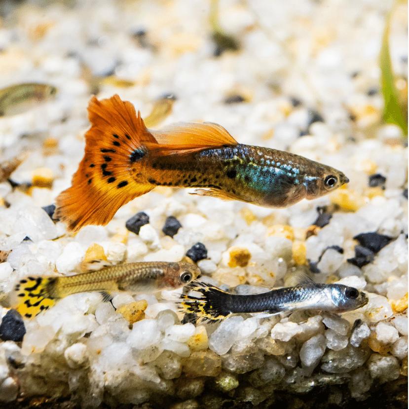 A folyókba kerülő antidepresszánsok zombikká változtatják a halakat