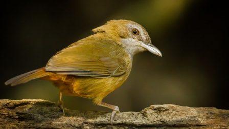 ázsiai madárféle