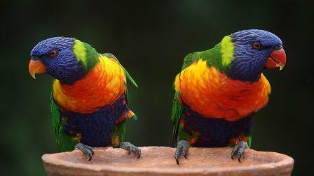 rainbow-lorikeet-686100_1400