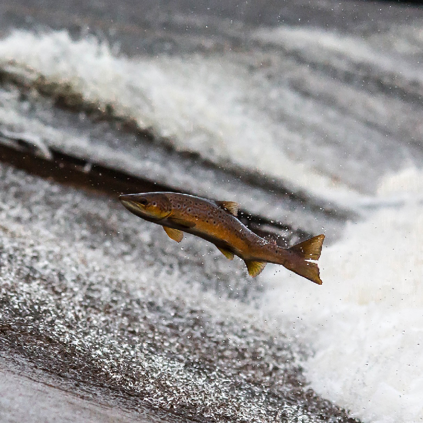 Az édesvízi halak egyharmada állhat a kihalás szélén egy jelentés szerint