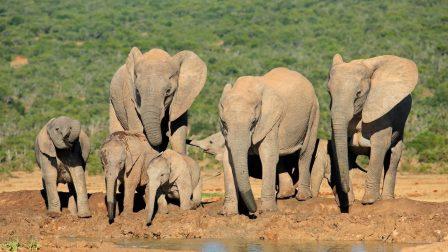 Mindkét afrikai elefántfajra rávetül a kihalás árnyéka