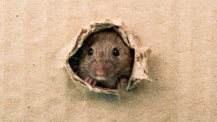 patkányirtás 2