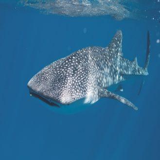 tengeri hal2