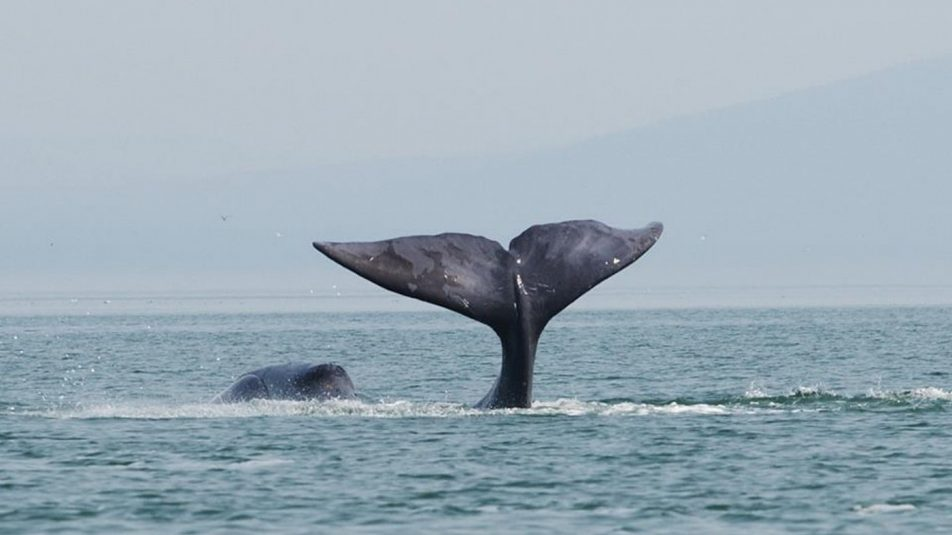 A_bowhead_whale_is_tail-slapping_in_the_coastal_waters_of_western_Sea_of_Okhotsk_by_Olga_Shpak,_Marine_Mammal_Council,_IEE_RAS
