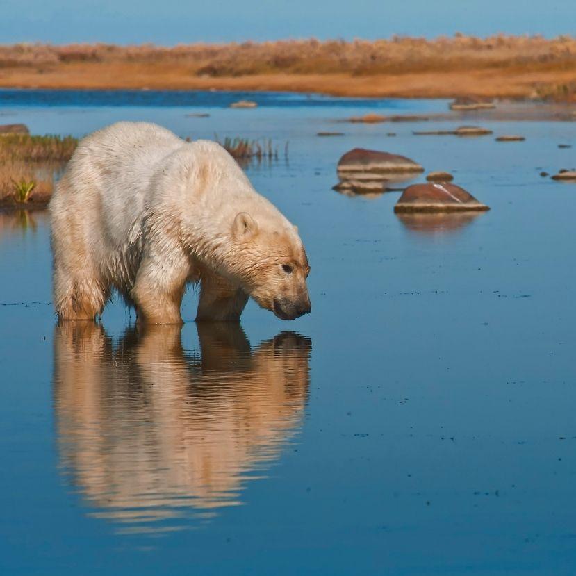 A zsugorodó vadászterület miatt alig találnak élelmet a jegesmedvék
