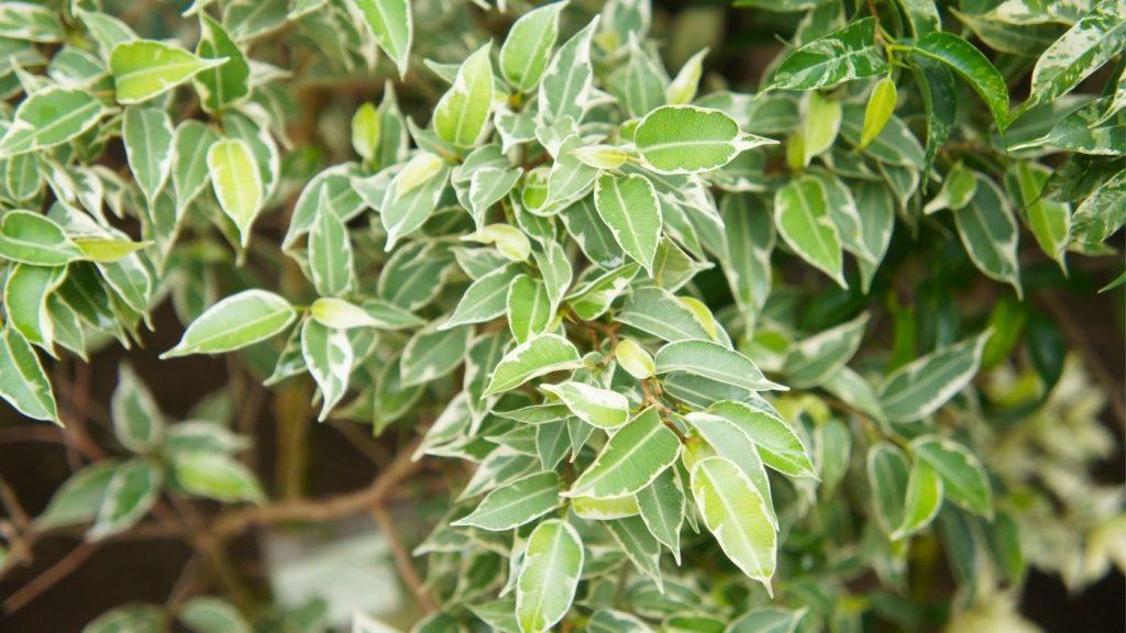 ficus benjamina szobanövény