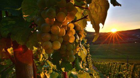 klímaváltozás szőlészet olaszrizling