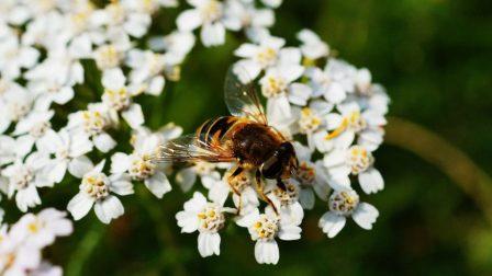 méhecske-1