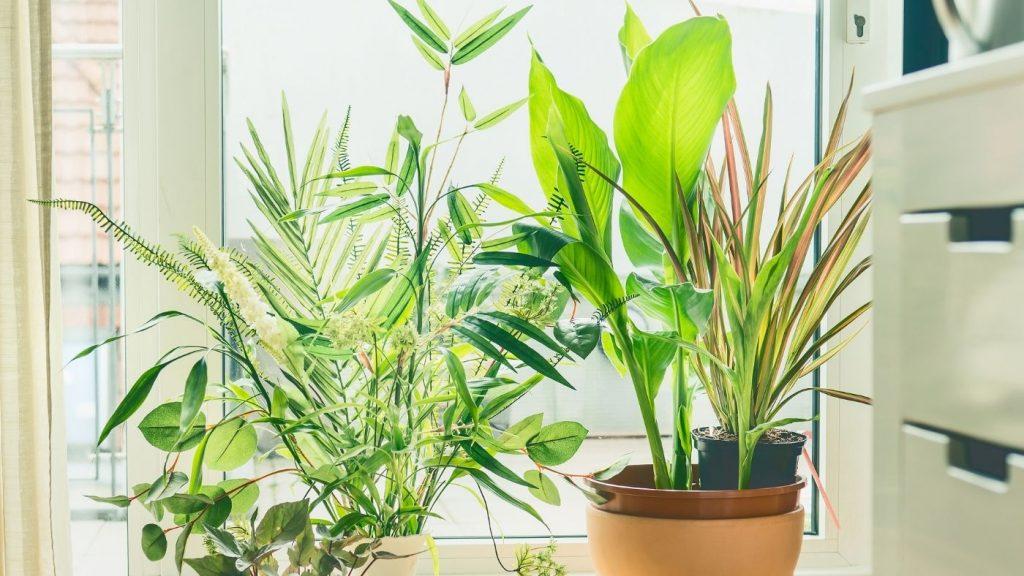 szobanövények az ablakban