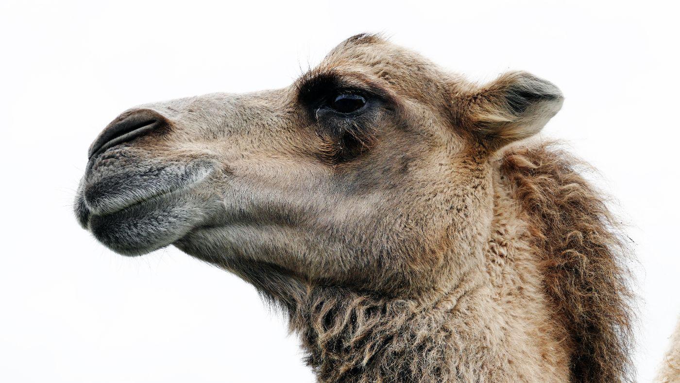 2000 műanyag zacskót találtak egy teve gyomrában