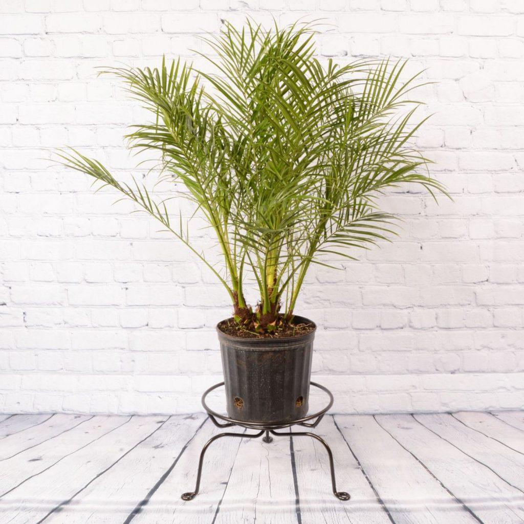 törpe datolyapálma szobanövény