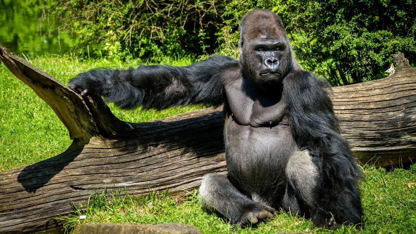 Ezt mondják a gorillák