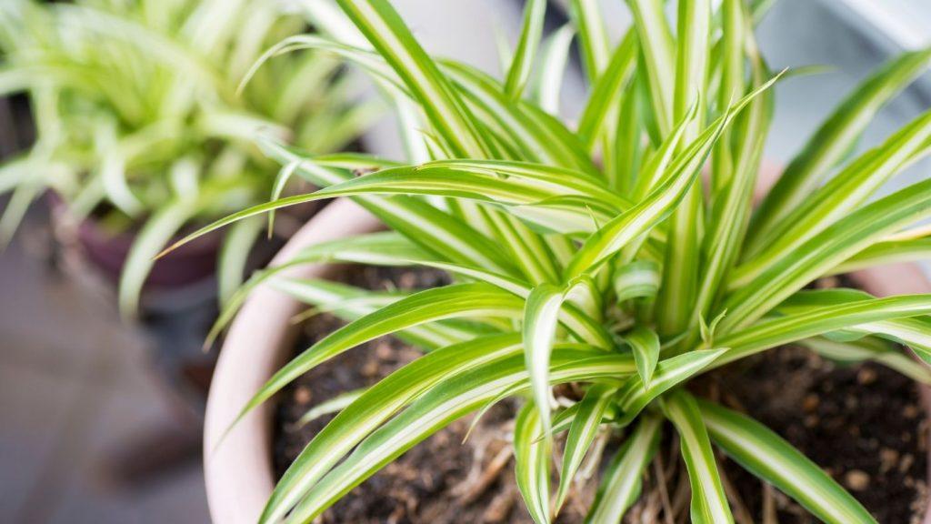 zöldike szobanövény