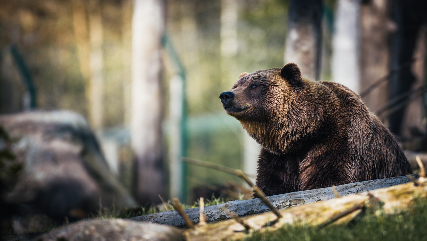 Lássuk a medvét….de csak óvatosan!