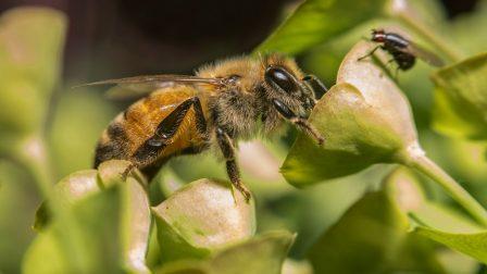 beporzó háziméh(1)