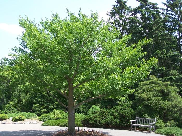 páfrányfenyő városi fák