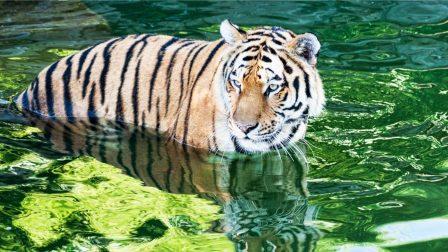 bengáli tigris