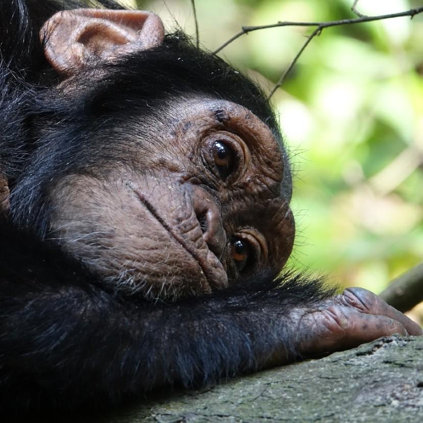 Az emberszabású majmok elveszíthetik afrikai otthonuk 90%-át