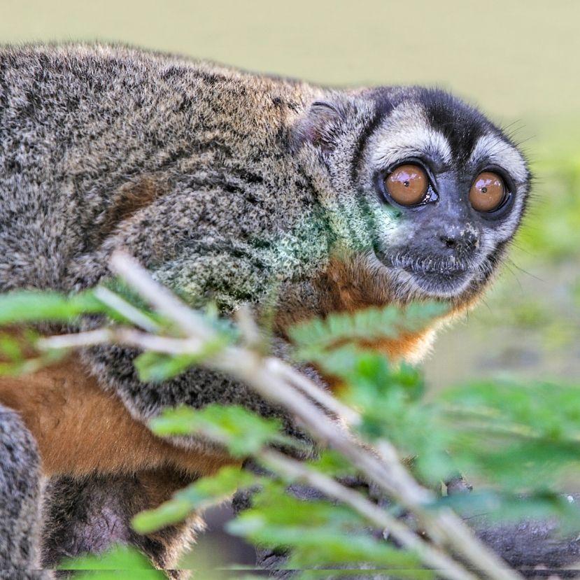 Videón az Állatkert cseperedő éjimajom kölyke