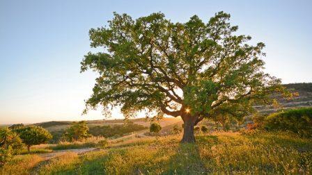 Felmérték hazánk legidősebb fáit