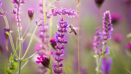 méh vadvirág