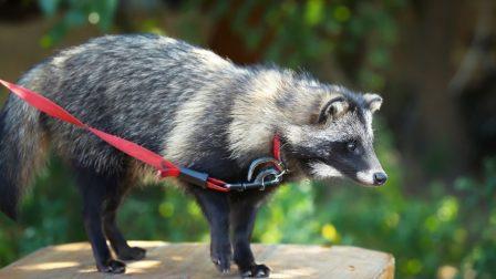 Cuki egzotikus háziállatból veszedelmes invazív kártevő