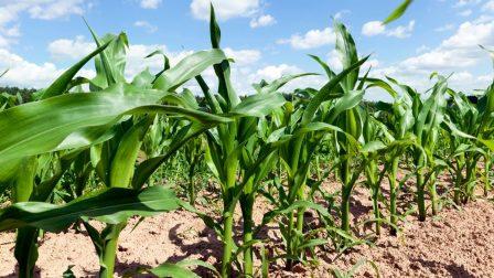 termőföld – kukorica(1)