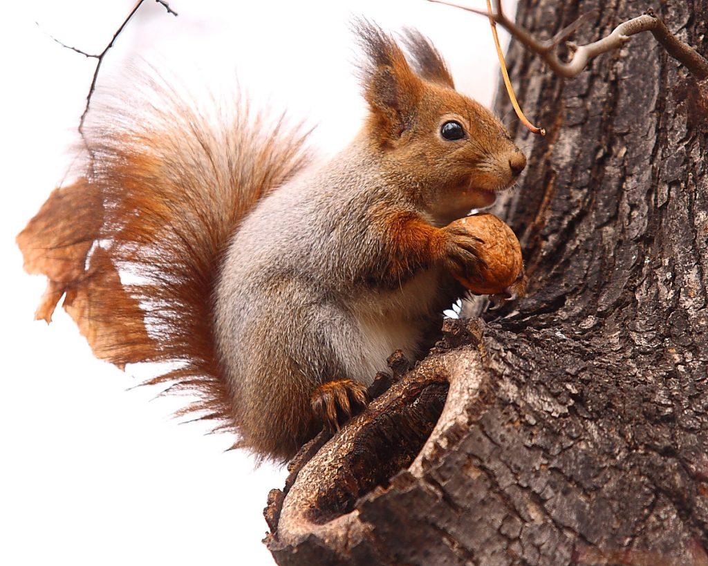 rágcsálók mókus
