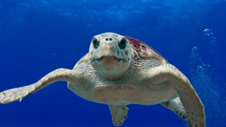 álcserepes_teknős