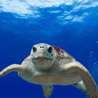 álcserepes teknős úszik