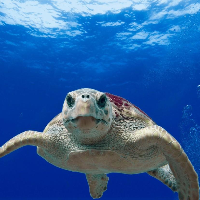 Az álcserepes teknősök jól jártak a járvánnyal