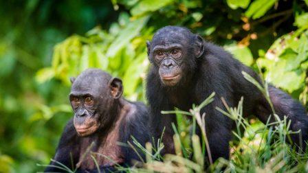 csimpánzok(1)