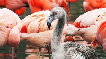 flamingócsibe