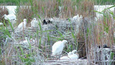 Nagyon szaporák voltak idén a Körös-Maros Nemzeti Park védett madarai