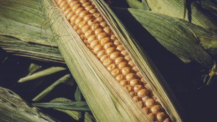 kukorica-1