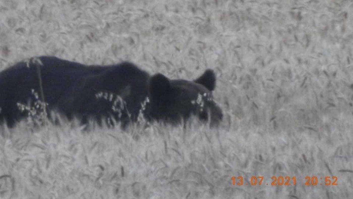 Medvét láttak a főváros környékén!