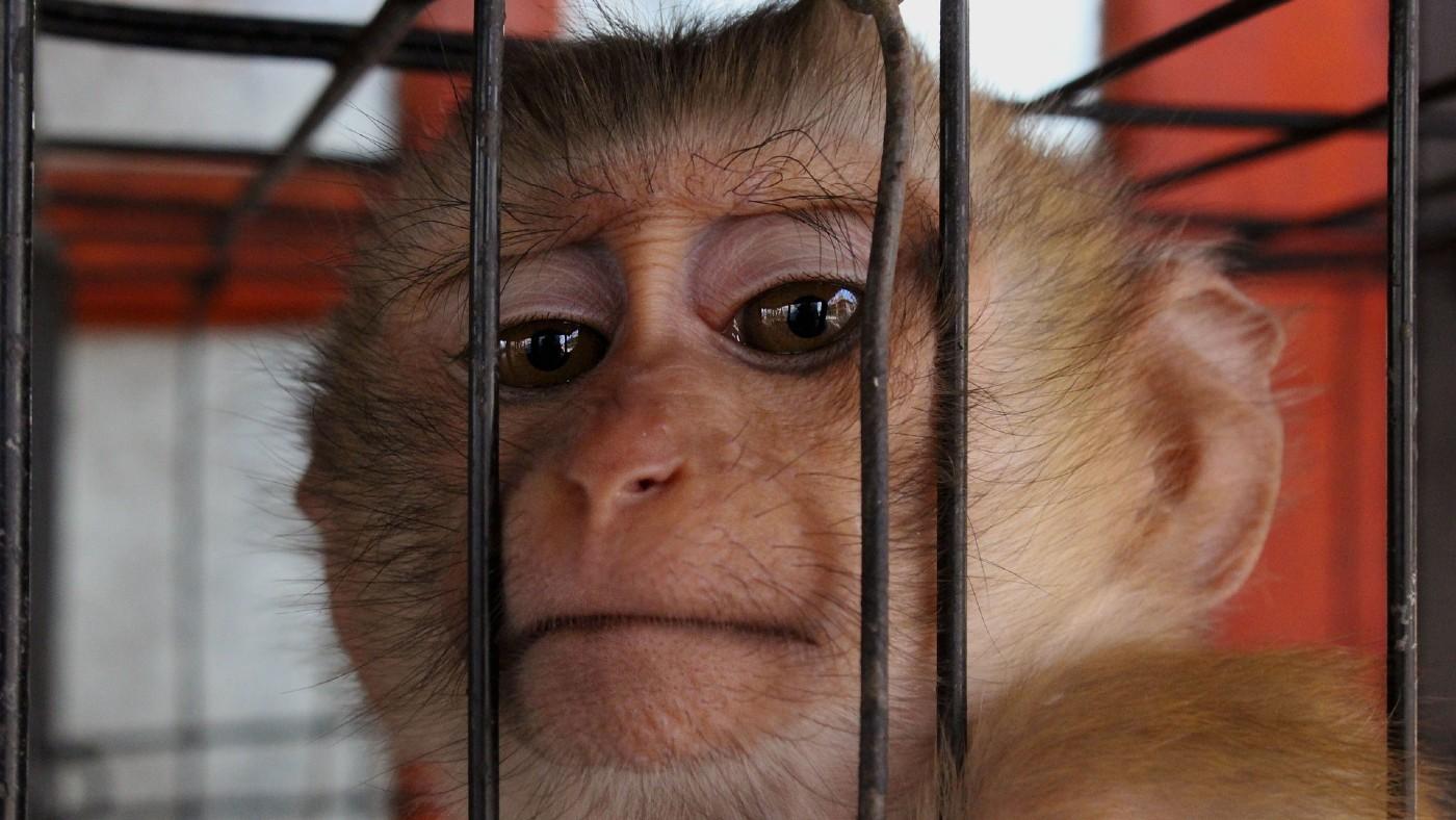A vadállatok kereskedelme kulcsfontosságú kockázati tényező a betegségek globális terjedésében