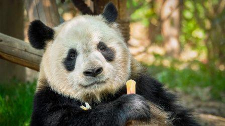 Már csak sérülékeny, de nem veszélyeztetett faj az óriáspanda