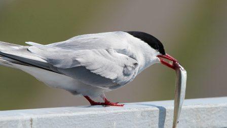1400×788-pexels-sarki-cser-arctic-tern