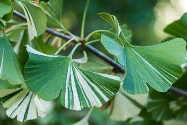 gyógyító fák