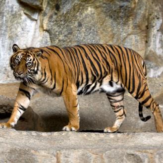 szumatrai tigris setal