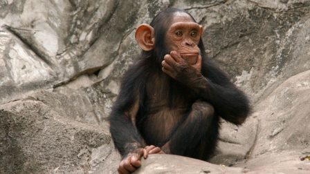 csimpánz(3)