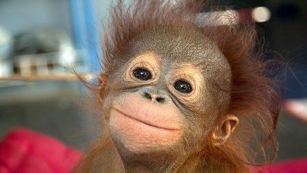 orangutan bébi