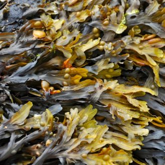 tengeri alga közeli kép